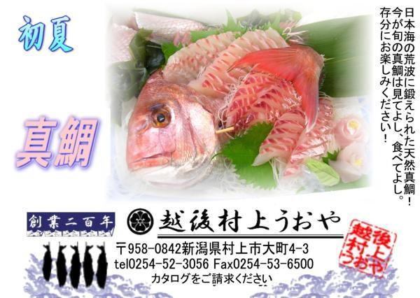 日本海の荒海に鍛えられた天然真鯛!